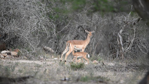 Impala lamb suckling mum in the wilderness Live Action
