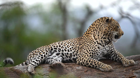 Male leopard close up portrait in the wilderness Live Action