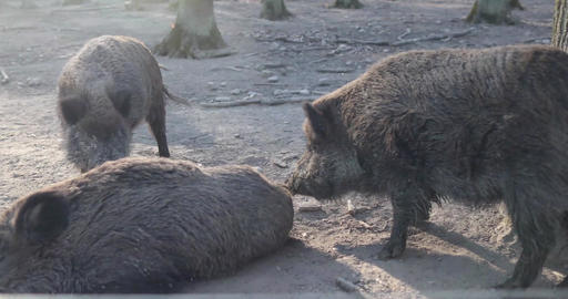 Family of wild boars in natural environment in the forest Live Action