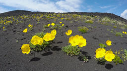 Wild flora Kamchatka Peninsula: yellow flowers Papaver microcarpum (Poppy family Footage