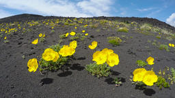 Wild flora Kamchatka Peninsula: yellow flowers Papaver... Stock Video Footage