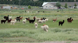 Llama herd in central Utah farm ranch walk away HD 2610 Footage