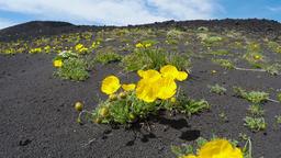 Wildlife Kamchatka Peninsula: yellow flowers Papaver microcarpum (Poppy family) Footage