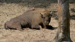 European bison lying on the ground. Bison bonasus Live Action