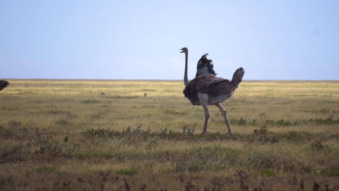 Ostrich on Meadow of Savanna, Slow Motion. Flightless Bird Walking in Nature Live Action