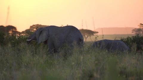 Slowmotion of Elephants Eating In Twilight of African Savanna Live Action
