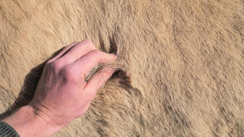 Closeup of a hand touching fur of an Icelandic white horse. Horse is loosing warm winter fur with Live Action