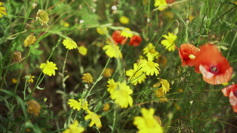 Spring flowers. Close-up of blooming red poppies and yellow flowers. Beautiful Live Action