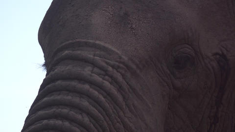 Elephant Eyes and Head Extreme Close Up. Protected Animal in Natural Environment Live Action