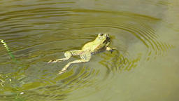 Frog in water paddle a bit around Live Action
