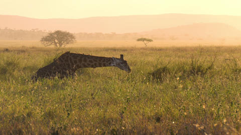 Giraffe With Birds on Body Eating Grass on African Savanna Sunset, Slow Motion Live Action
