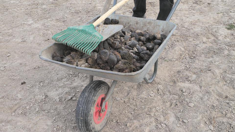 Collecting and isposal of horse manure on horse farm, farming and garden work Live Action