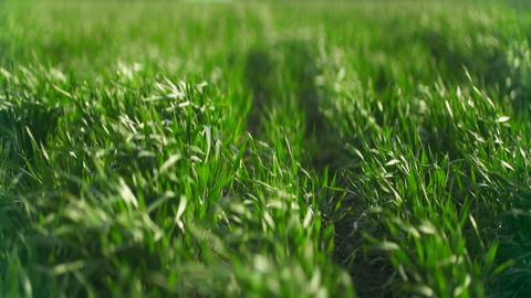 Green field of corn. Corn leaves on field. Closeup of corn field Live Action