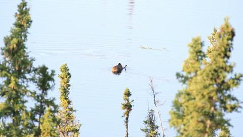 Moose bull in lake P HD 7567 Footage