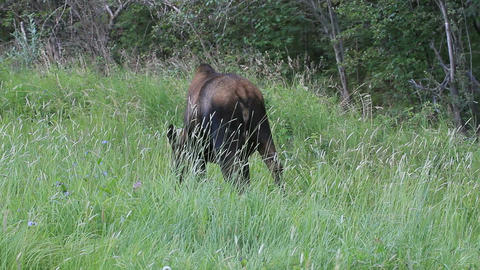 Moose cow walking away grazing P HD 1524 Footage