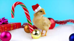Cute gold young rooster with Christmas decoration and sugar candy cane Footage