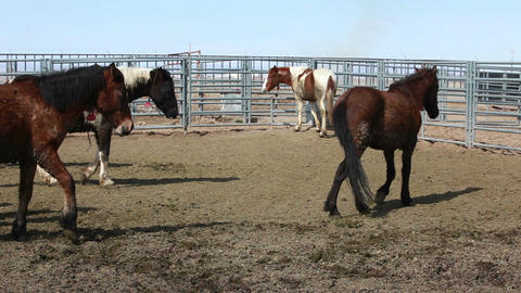 Mustang Horses after roundup corral P HD 8879 Footage