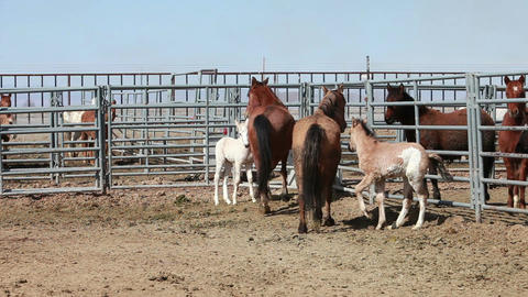 Mustang horse mother and colts P HD 8894 Stock Video Footage