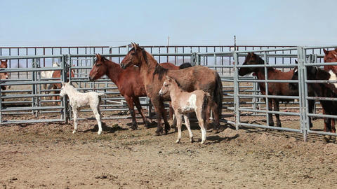 Mustang horse mother and colts P HD 8894 Live Action