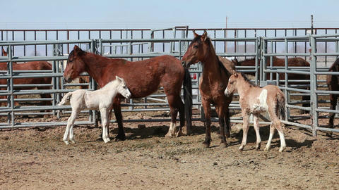 Mustang horses mare colt P HD 8896 Footage