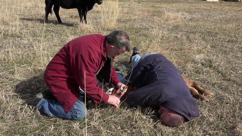 New born calf inserting identification ear tag 4K 001 Footage