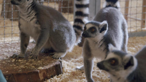 A Lemur sitting on top of a cage being feed by human Live Action