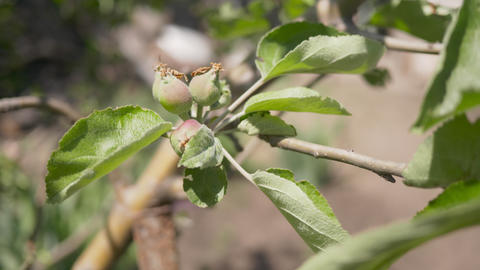 Ripening fruits of Apple on a branch. The wind rustles the branches of the tree Live Action