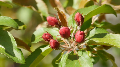 red flower buds Live Action