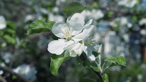 Blooming Apple in Spring Live Action