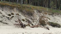 Erosion of coastal dunes. Fallen tree on the seaside cliff Live Action