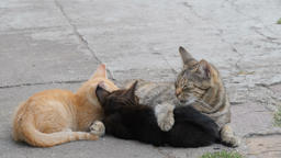 Female cat is feeding two young kittens Live Action
