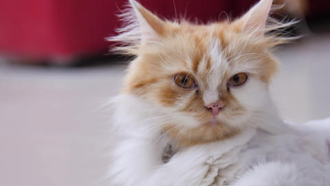 Close-up shot persian cat squatting and blink the eyes, selective focus shallow depth of field GIF