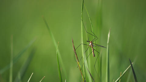 Crane Fly couple have sex on grass stalk. European Large Crane Fly, Tipula maxima, in summer Live Action