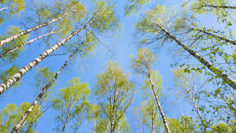 Tops of the birch trees in early spring on blue sky background Live Action