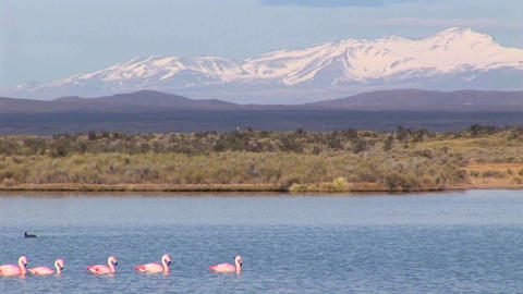 A flock of flamingos swims along in a lake, and a duck swims the other way Footage