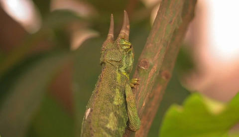 A horned lizard crawls up a branch, rolling its eye to... Stock Video Footage