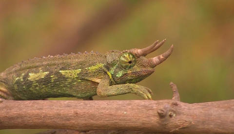 A horned lizard crawls slowly across a branch, revolving... Stock Video Footage