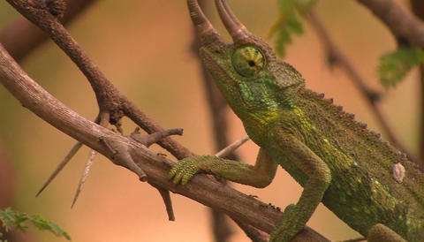 A tri-horned chameleon slowly and carefully ascends a... Stock Video Footage