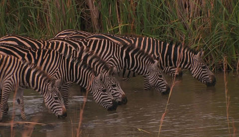 A herd of zebras drink at a waterhole, one raises his head Stock Video Footage