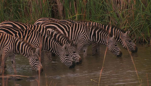 A herd of zebras drink at a waterhole, one raises his head Footage