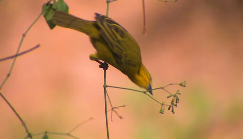A yellow bird swings on a branch and pecks at the fruit Footage