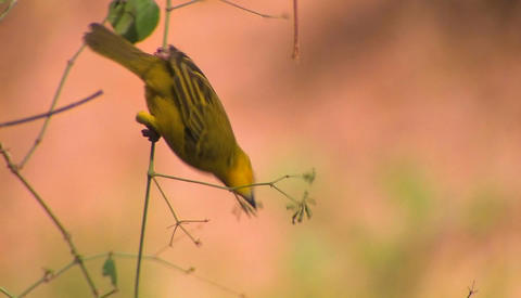 A yellow bird swings on a branch and pecks at the fruit Stock Video Footage