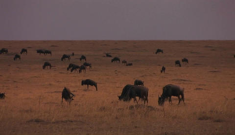 A herd of wildebeests are stopping to graze on the plains Footage