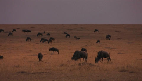 A herd of wildebeests are stopping to graze on the plains Stock Video Footage
