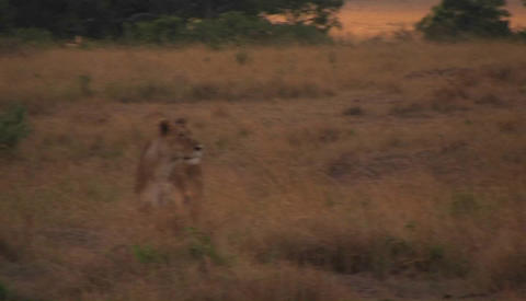 A lioness walks through wild grass Stock Video Footage