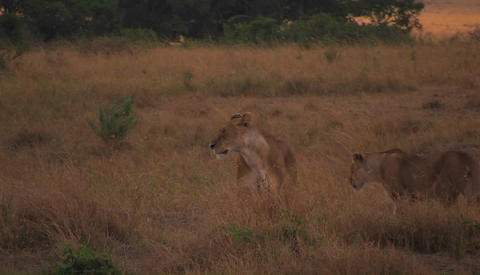A lioness walks through wild grass Footage