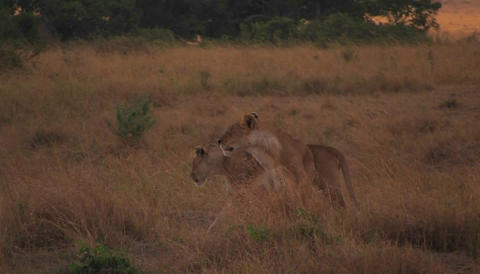 A lioness walks through wild grass Stock Video Footage