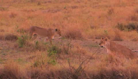 A lioness walks to the right and looks around with... Stock Video Footage