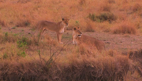 A lioness walks to the right and looks around with another lioness in a grassy field Live Action