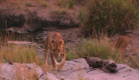 A lioness walks around in her habitat Stock Video Footage